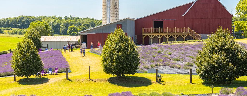 Lavender Hill Farms Barn with lavender